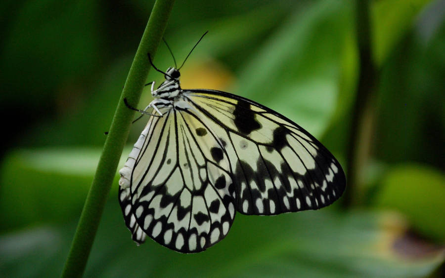Black And White Butterfly On Green Leaves Wallpaper 30912