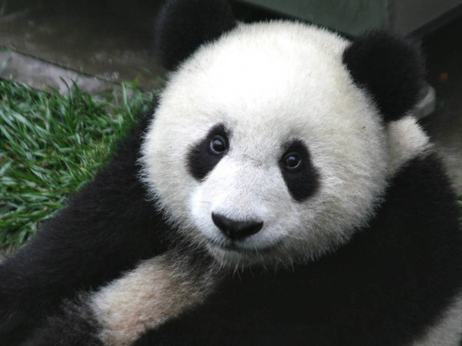 panda bear wallpapers (18)