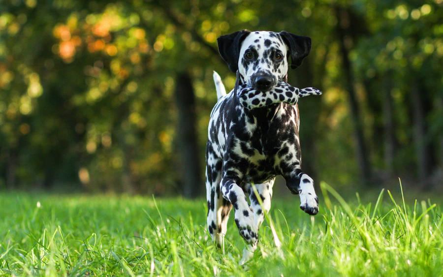 Boston Terrier Dog 6 Wallpaper Animal Wallpapers Hd