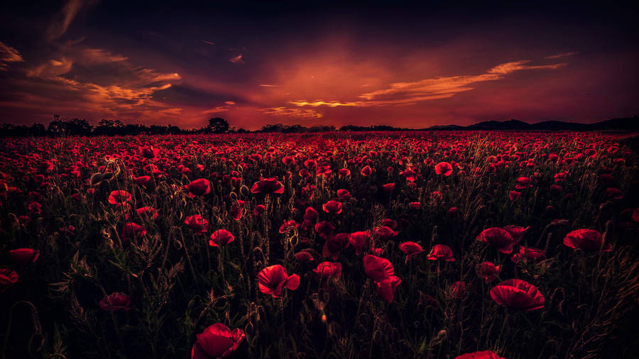 Poppies Field At Sunset | All Wallpapers