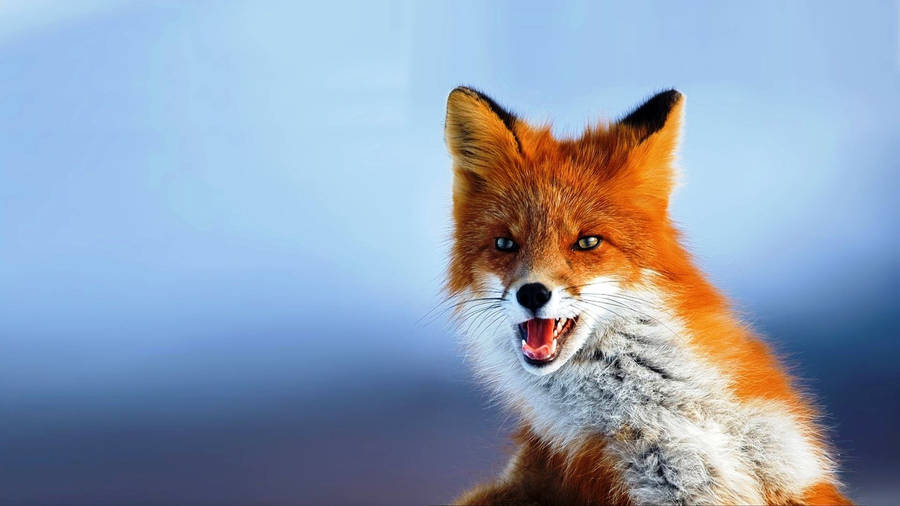 Red Fox Wallpapers Backgrounds Page 4 4kwallpaperorg