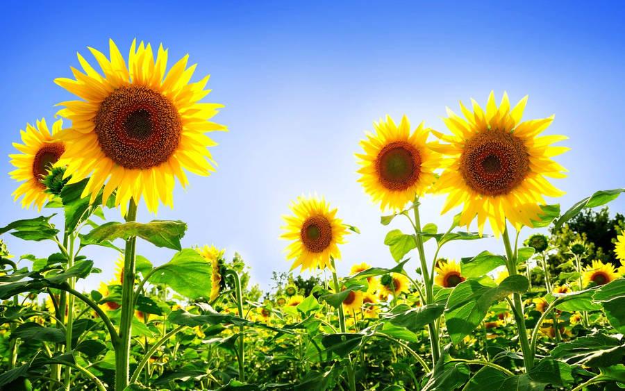 Italy Sunflowers Field Wallpaper 2560x1600