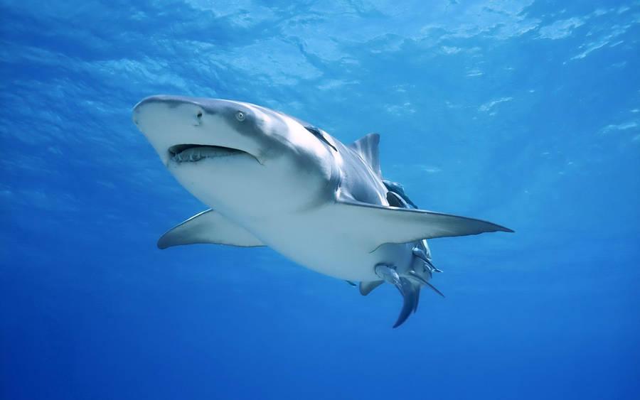 Great White Shark Wallpaper Animal Wallpapers 107