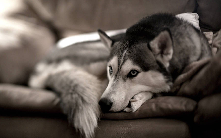 Little Siberian Husky Dog  HD Wallpapers Widescreen  1280x960