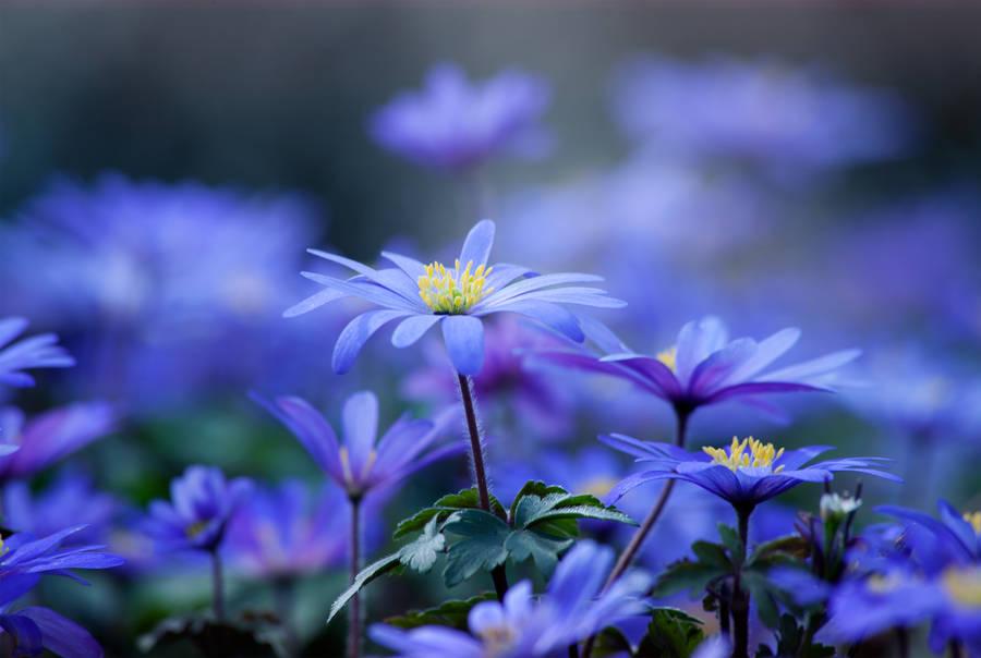 Bumble Bee Purple Flower In Sheffield Botanical Gardens Flickr
