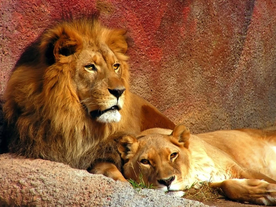 Growling Lions Wallpaper Animal Wallpapers 4859