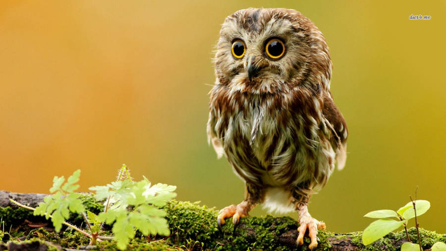 Free SAW WHET OWL_53219 Wallpaper Download