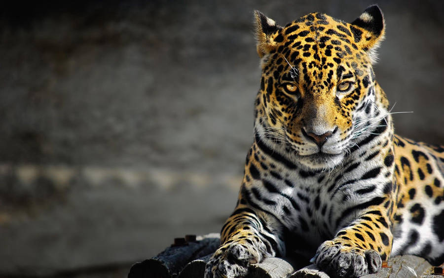 Cat Spots Leopard Hunt Grumpy Background