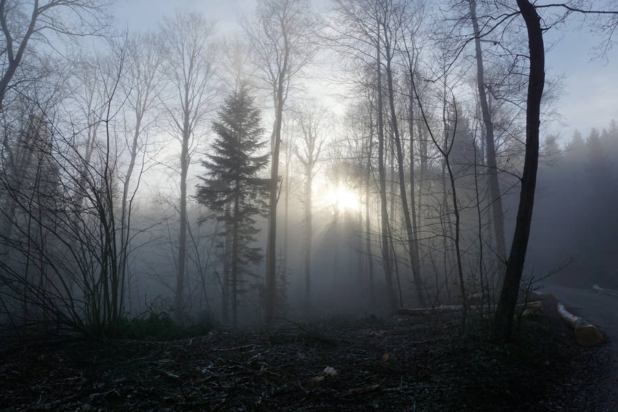 Rays of Light through the Thick Forest Wallpaper