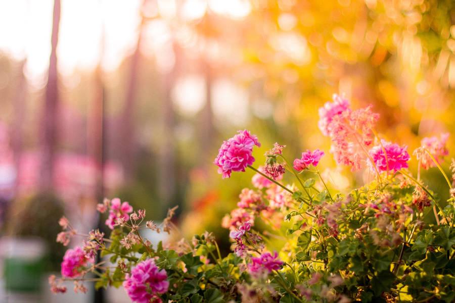 Dianthus Flower wallpaper - 702493