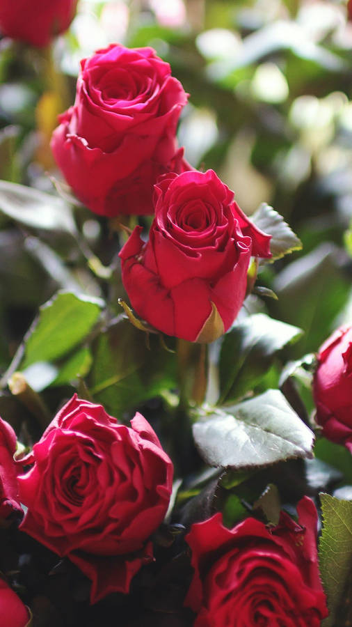 Red And Pink Roses Wallpaper Mega Wallpapers