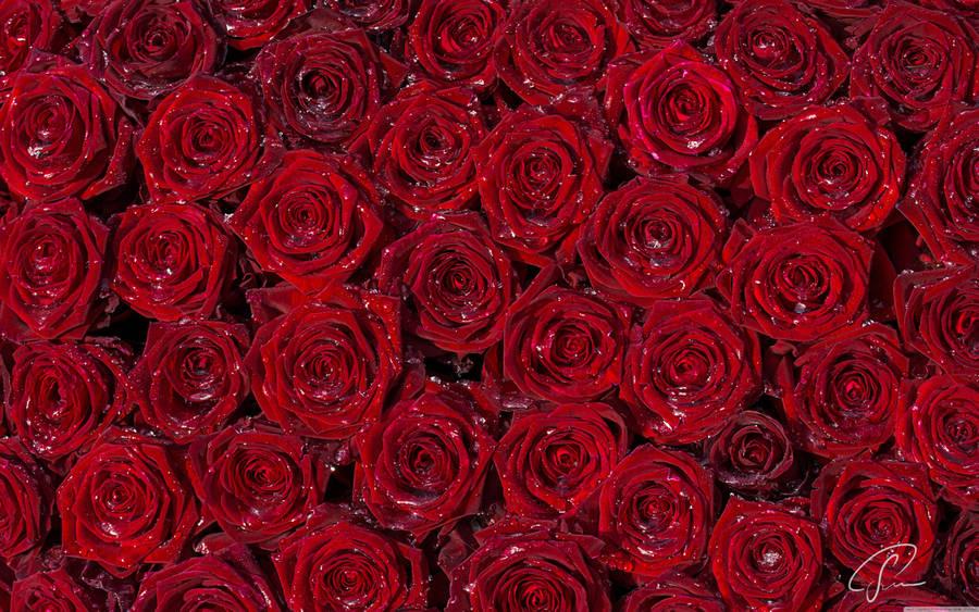 Beautiful Rose Flowers Wallpaper 14507