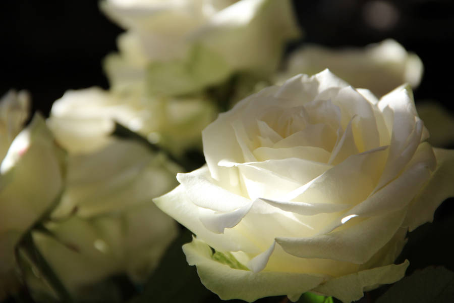 beautiful rose flower images Photo