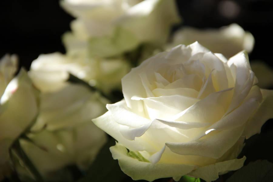 Beautiful Rose Flowers Wallpaper 14531