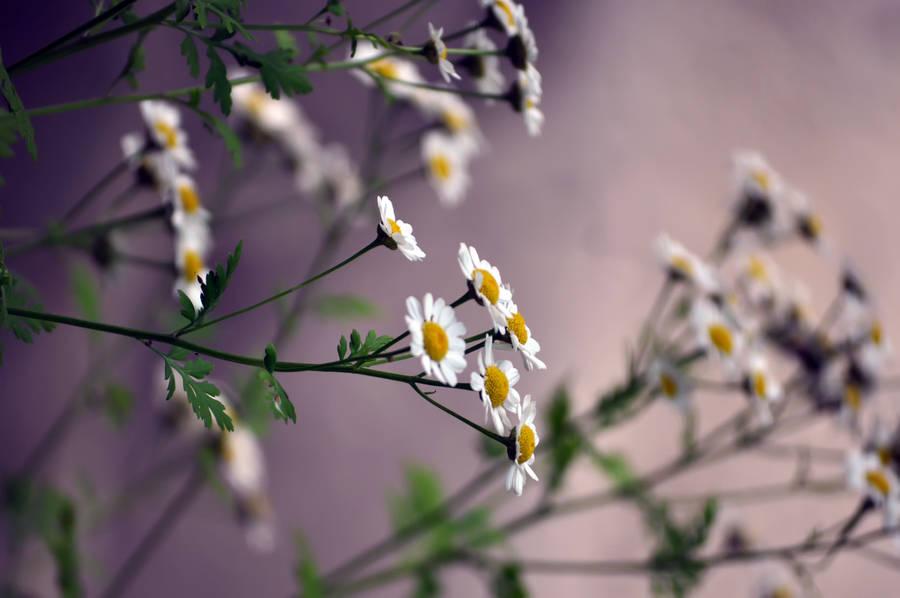 30 amazing free hd flower wallpapers tech lovers l web design yellow strawflower wallpaper voltagebd Gallery