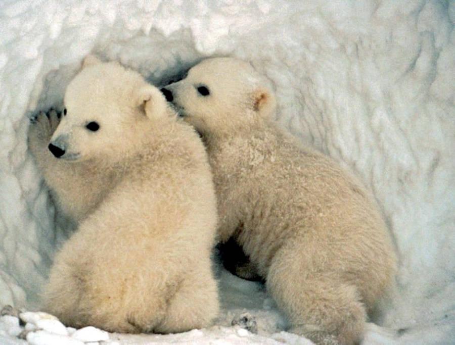 Polar Bear On Ice Wallpaper Animal Wallpapers 25300