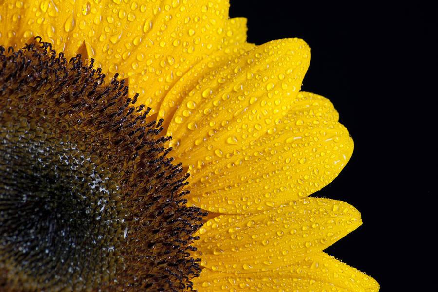 Line X Near Me >> Sunflowers near the mountain wallpaper - Flower wallpapers - #47443