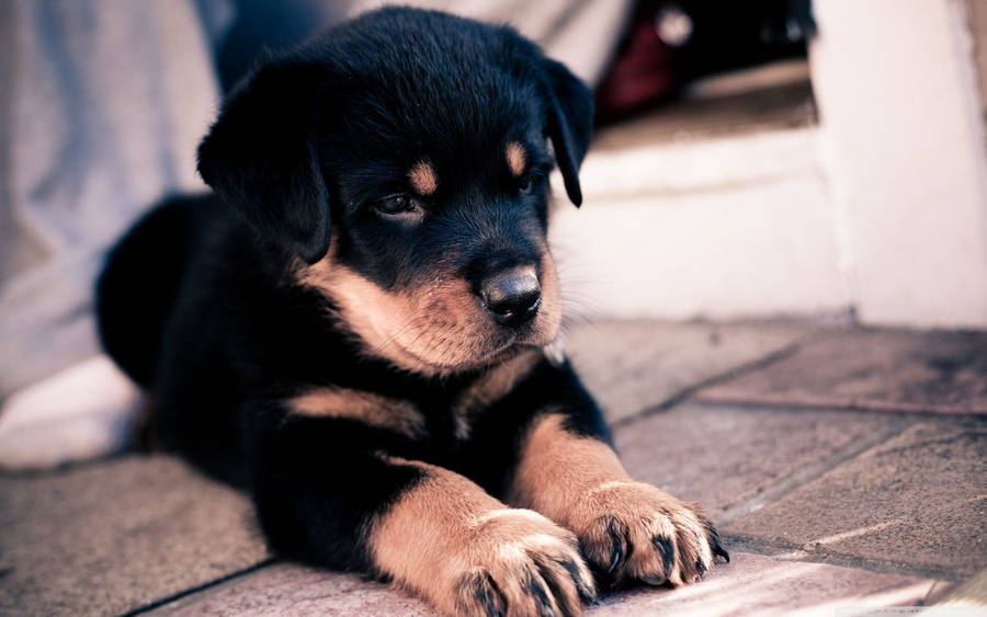 Dachshund Puppy Wallpaper Animal Wallpapers 32868