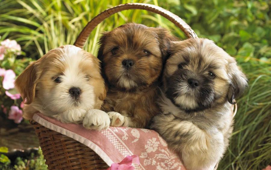 Husky Puppy X Animal Wallpaper