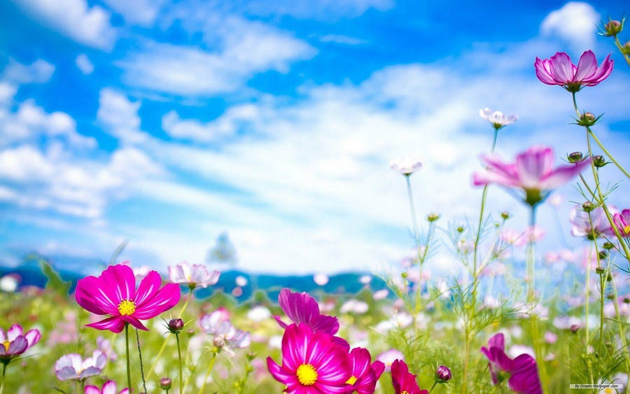Pink And Blue Forget Me Not Flowers Widescreen Wallpaper Wide