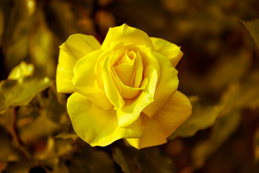 wallpaper of yellow roses - photo #6